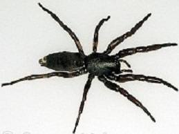white-tailed-spider-24T5855-10